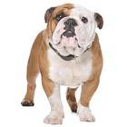 Bulldog englez