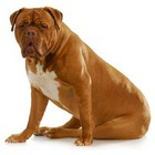Dog de Bordeaux