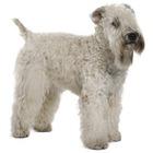 Wheaten Terrier cu blana moale